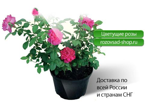 ...предлагает купить Вам по оптовым и розничным ценам розы, саженцы роз...