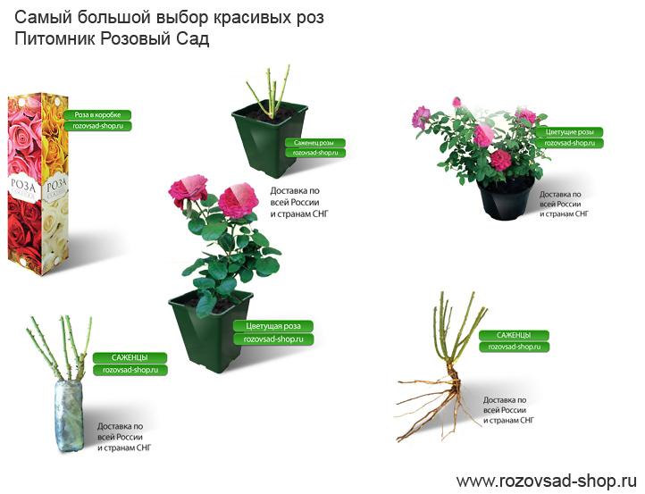 О магазине розовый сад
