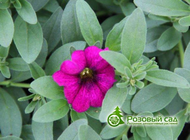 Заказ многолетних цветов почтой каталог заказа цветов таллин