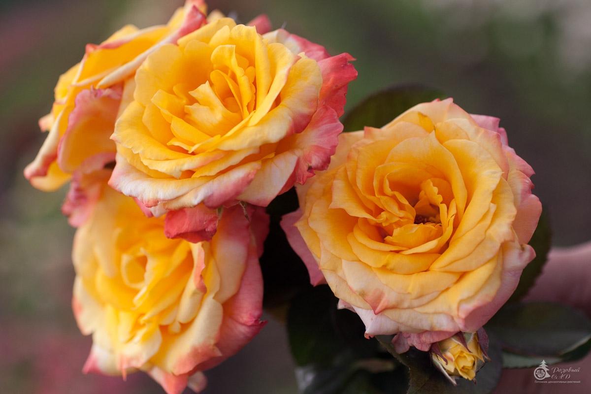 Цветок очень крупный красивой формы