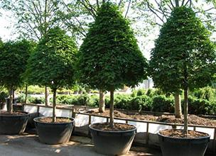 Крупномеры растений для посадки весной 2020 года