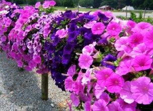 Цветы однолетние купить