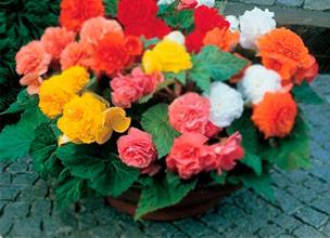 Продажа цветов бегонии из питомника Краснодара