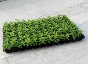 Не за горами сезон посадки однолетних цветущих растений!