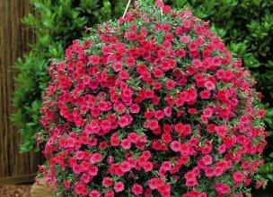 Купить многолетние цветы недорого оптом доставка цветов губаха у татьяны