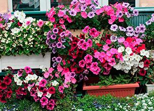 Купить цветущие однолетники в Краснодаре