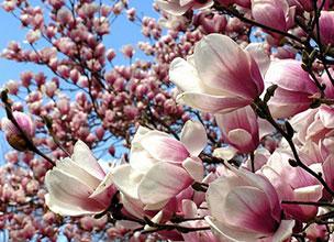 Красиво цветущие магнолии купить питомник
