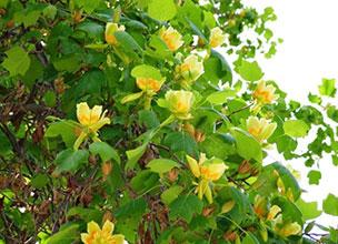 Краснодар саженцы тюльпановое дерево