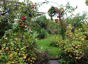 Яблоня райская луиза