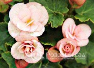 Заказ самых красивых саженцев цветов заказ и доставка цветов в москву и владимир
