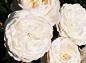 Винчестер Кафидрал: уход за саженцами английской розы