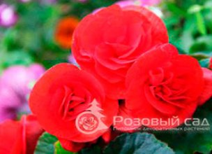 Купить цветы для дачи в Краснодаре